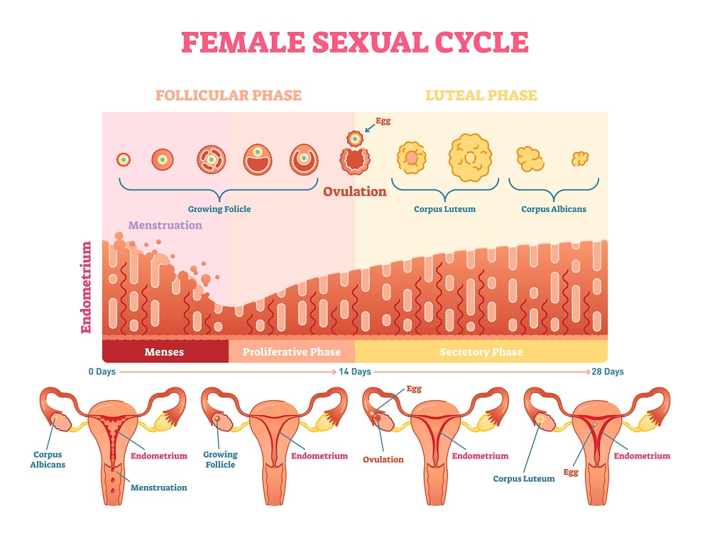 Menstrual cycle ovulation