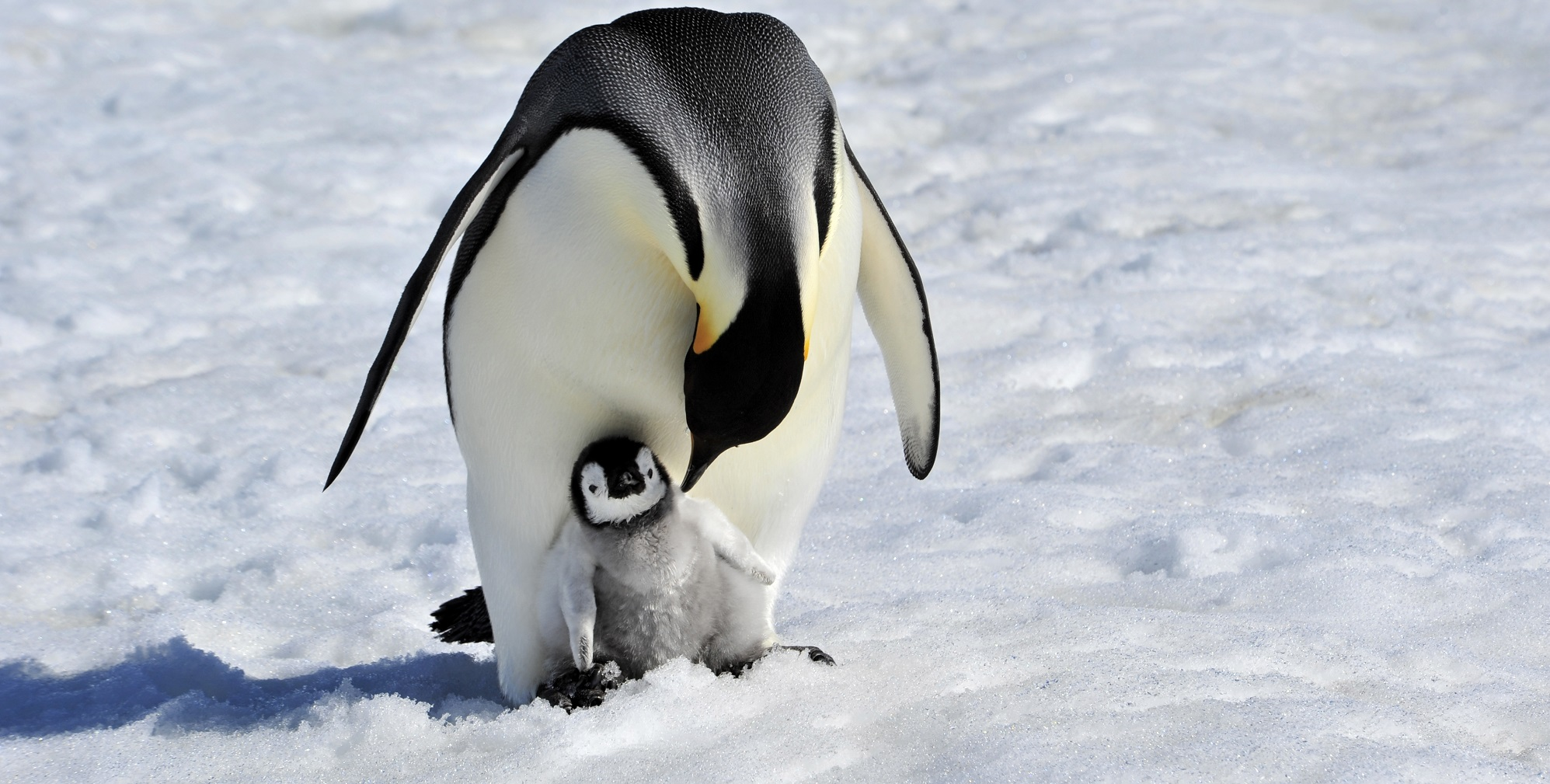 Penguin mother and child representing freezing eggs