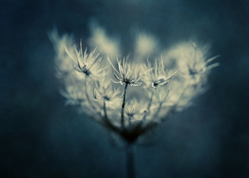 Queen Anne's lace on blue